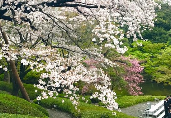 八芳園の庭園の桜
