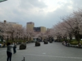 川崎ソリッドスクエア前の桜