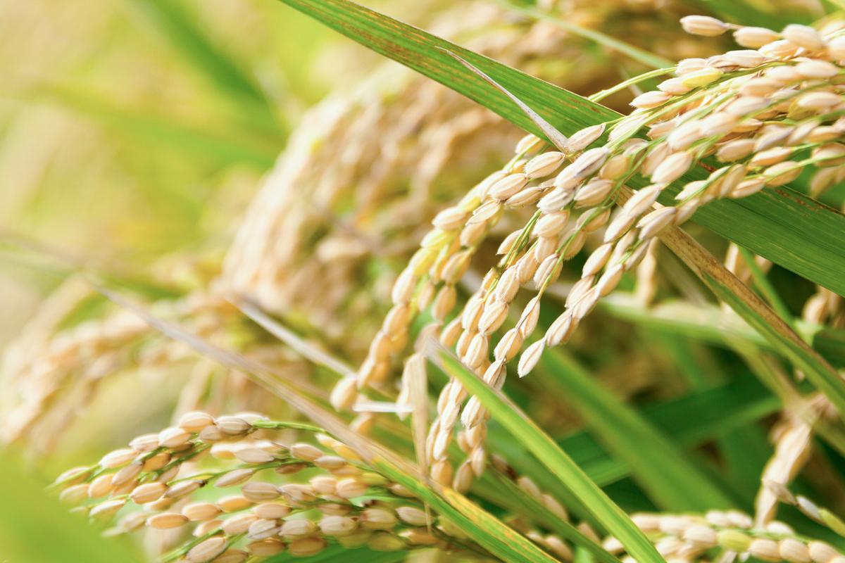 稲 白米 成分