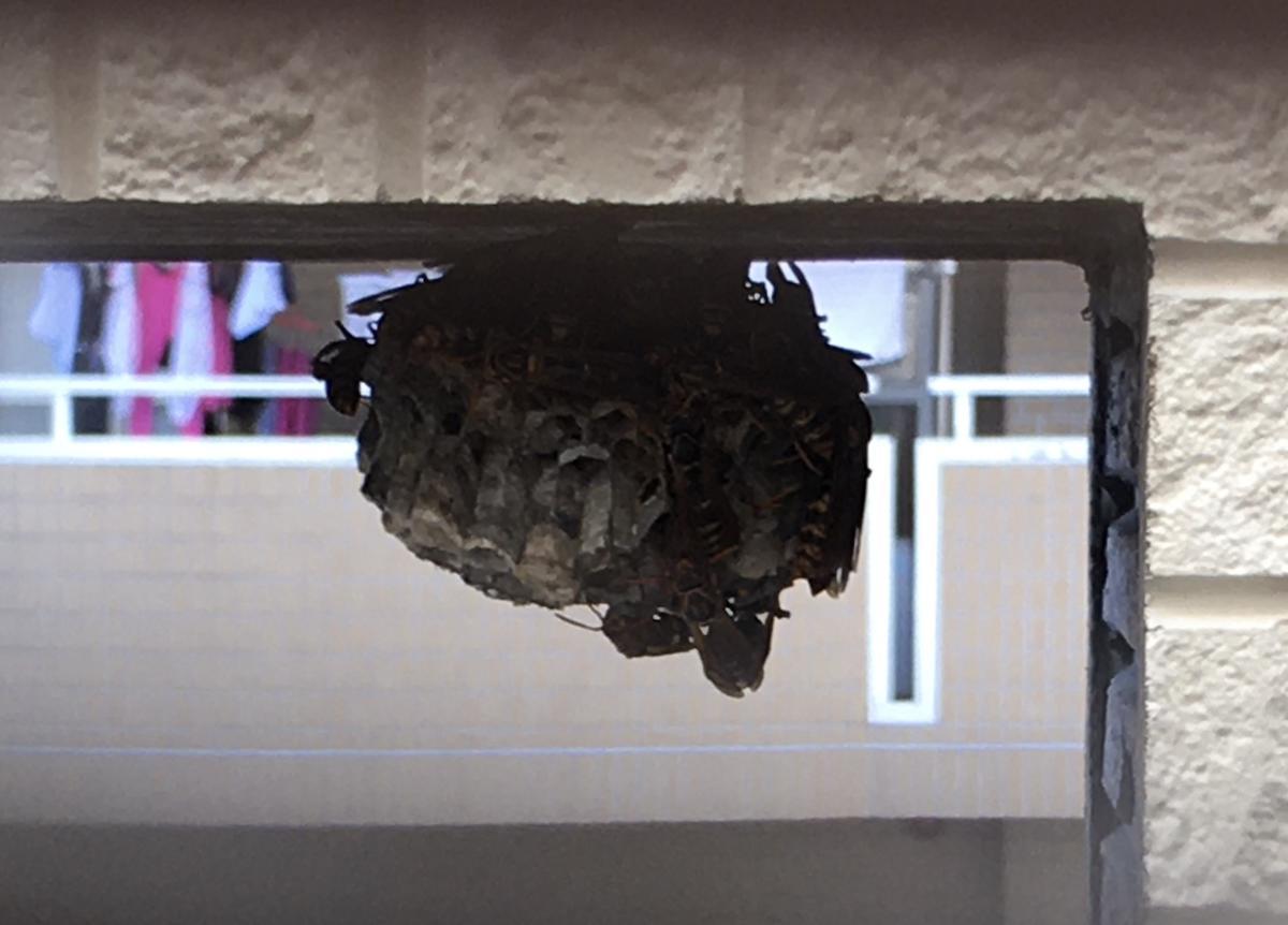 アシナガバチの蜂の巣