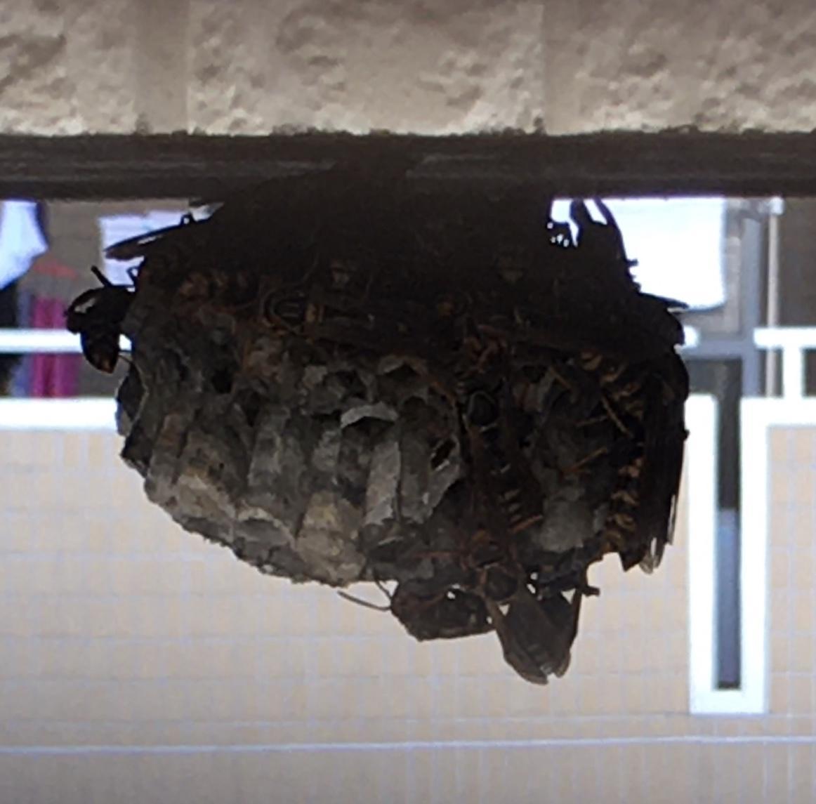 アシナガバチの蜂の巣の拡大