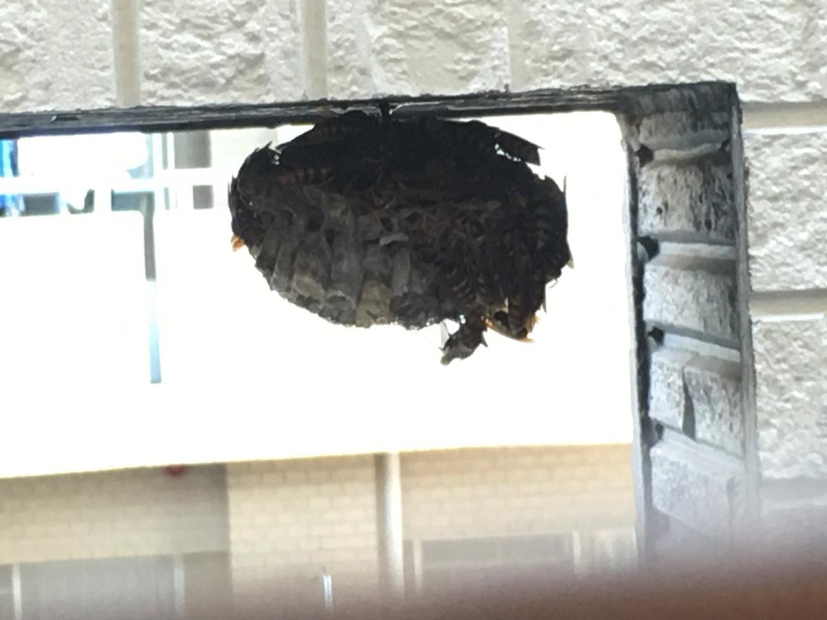アシナガバチの蜂の巣にライトを当てる