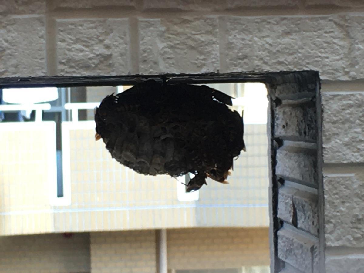 アシナガバチの蜂の巣にライトを当てる2