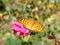 よく見かける蝶