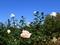 秋のバラと青空