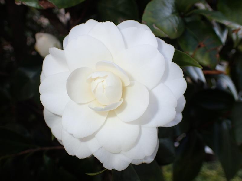 真っ白な椿