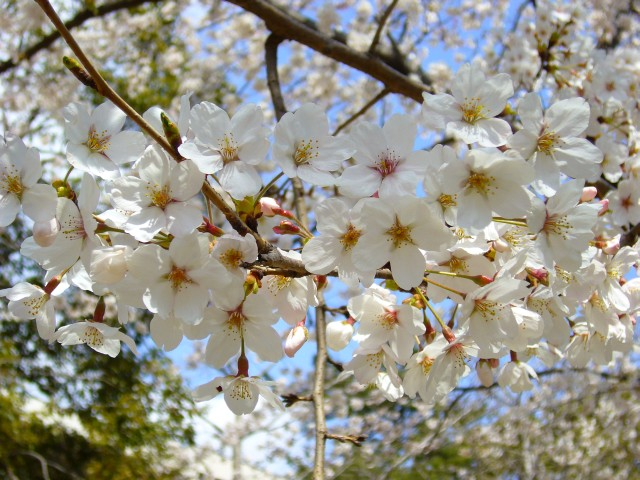 葛飾八幡の桜