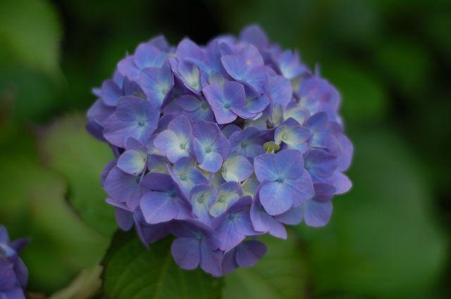 F1.8の紫陽花