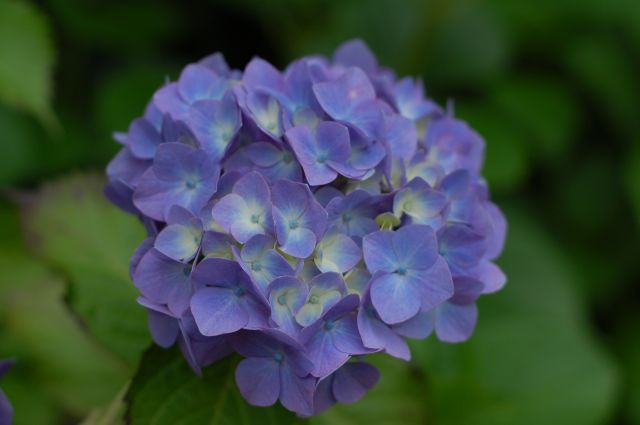 F2.8の紫陽花