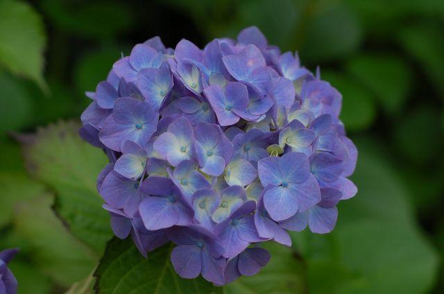 F3.5の紫陽花