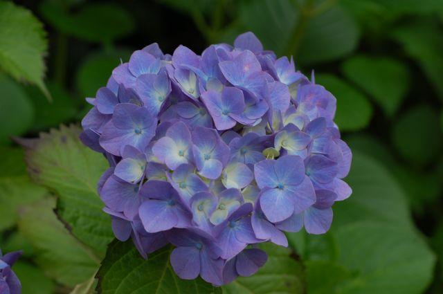 F5.6の紫陽花
