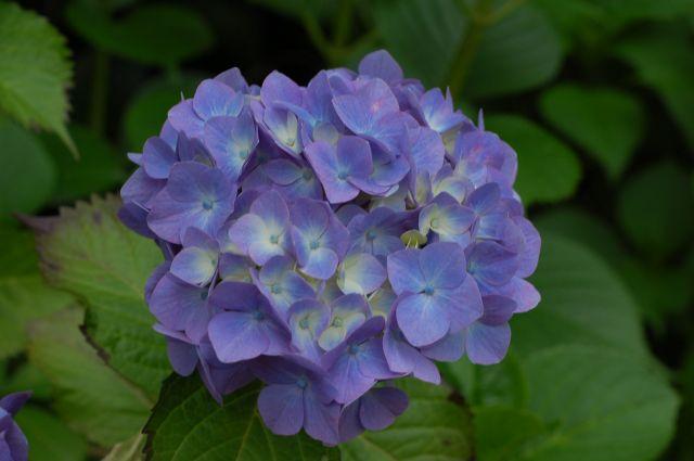 F6.3の紫陽花