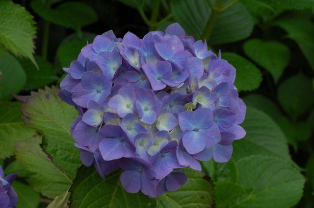 F11の紫陽花