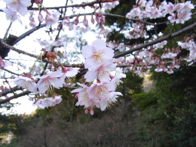 熱海の桜なら熱海桜だぁ