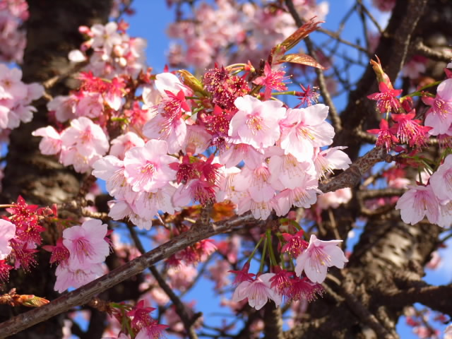 熱海桜をストロボで強調してみた