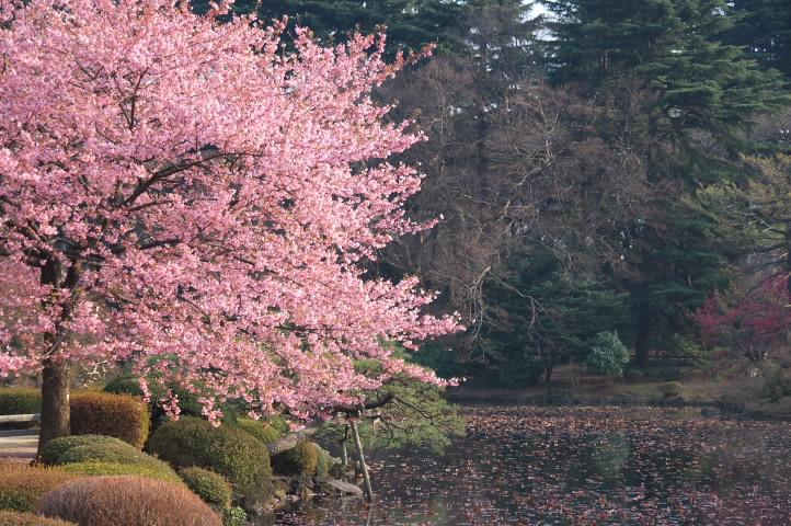 桜咲く湖畔