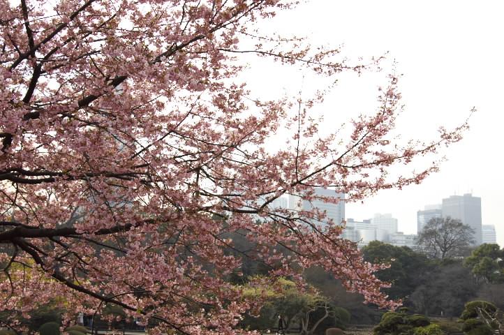 桜と高層ビルと