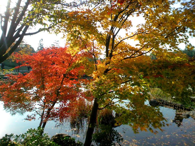 速報,紅葉の昭和記念公園(1)