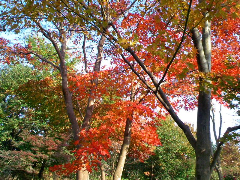 速報,紅葉の昭和記念公園(2)