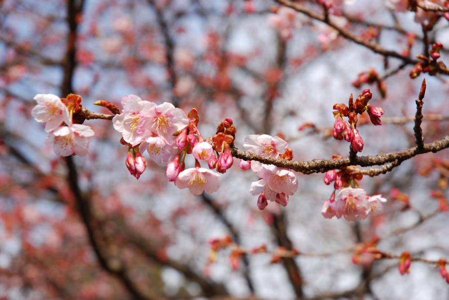 寒桜が咲き始めました