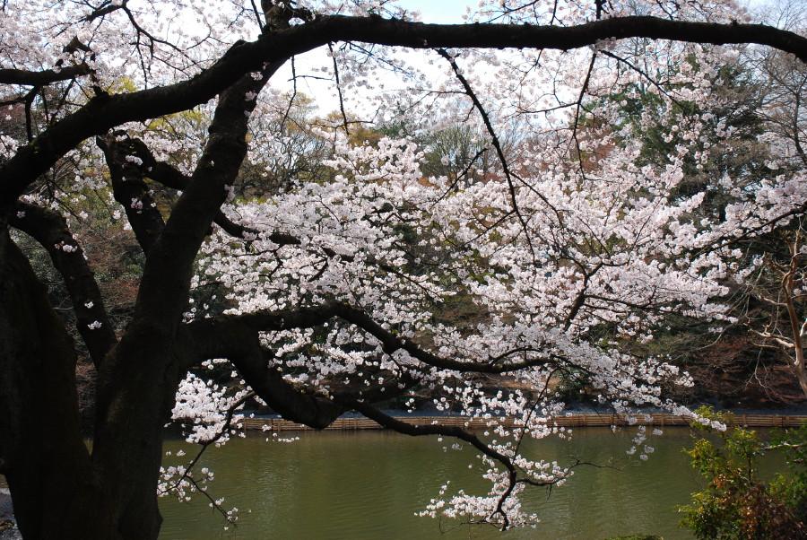 湖畔の染井吉野