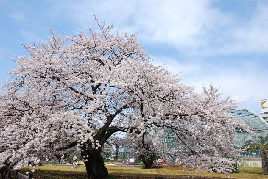 温室と桜の組み合わせ