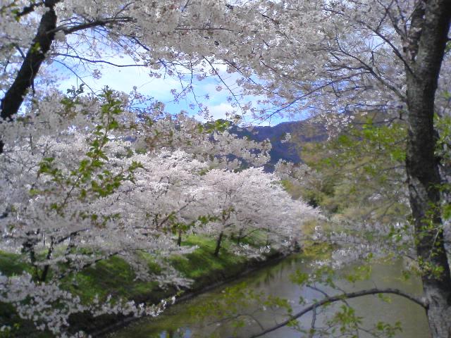 上田城桜花爛漫