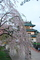 無理矢理城と桜を重ねてみる