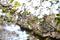 陽光のオオシマザクラ
