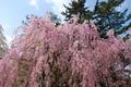 弘前の枝垂桜