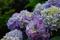 6月は紫陽花