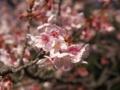 今年も桜の季節が始まりました