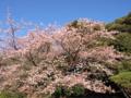 トップバッター寒桜