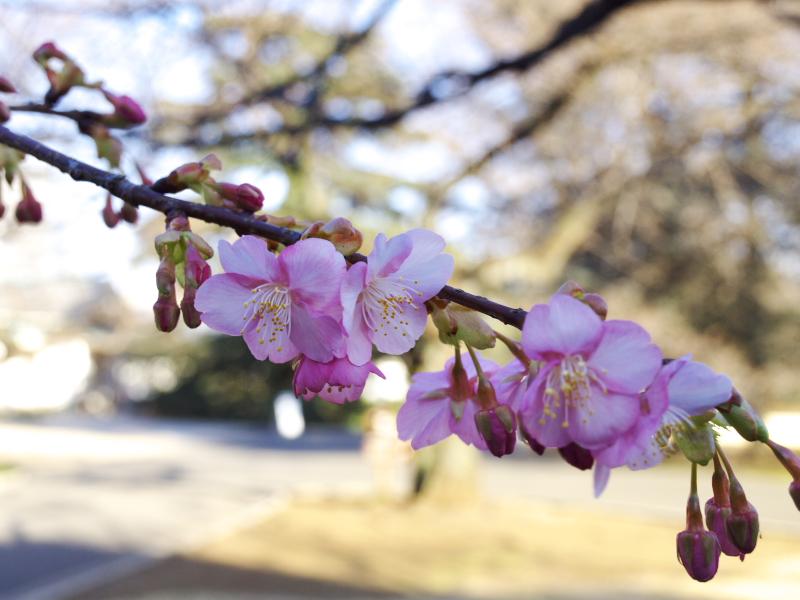 新宿でも河津桜とはこれ如何に
