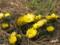 福寿草がいっぱい