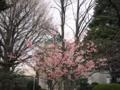 河津桜に表敬館
