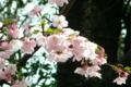 気の早い上野の桜