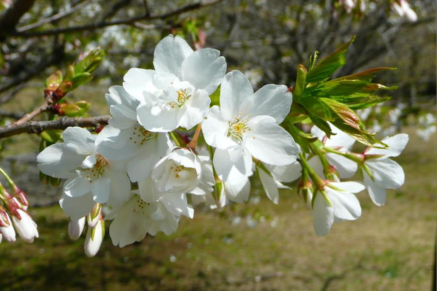 大島桜in幕張