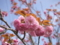 八重桜in羊山公園