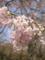 羊山公園でも佐倉は枝垂れております