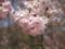 羊山枝垂桜