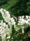 ウツギの上にアオスジアゲハ