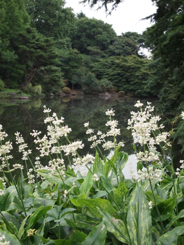 池の畔にヤブミョウガ