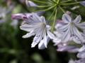 アガパンサス,拡大すると普通の花
