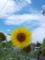 三河田原にも向日葵はある