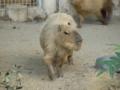 カピバラさんはネズミの仲間です