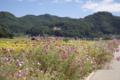 バイパス沿いに咲くコスモス