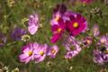 秋桜に受粉中の蜂
