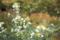 萩の寺の白い萩