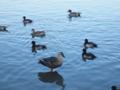 三渓園の鴨